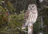 Barred Owl 6887