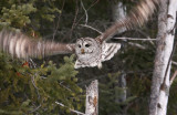 Barred Owl 6897