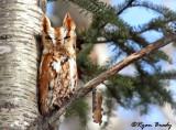 Eastern Screech Owl 7739