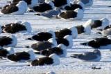 Goélands - Gulls