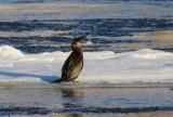 Grand Cormoran - Great Cormorant