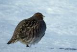 Perdrix grise / Gray Partridge