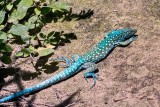 BlueBlue Lizard