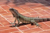 Lizard at Lunch