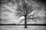 Oak tree, winter