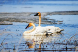 Trumpeter Swans 3