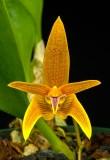 Bulbophyllum Style Orchids