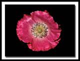 pretty pink poppy...