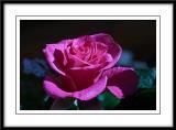 summer rose...