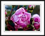 frosty pink roses...