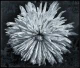 White chrysanthemum ....