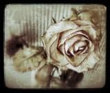 Faded grunge rose...