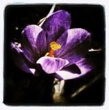 Purple crocus...