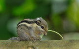 Himalayan_striped_squirrel