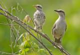 Chalk- browed Mockingbird