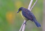 Unicolored Blackbird  (fem)