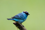 Golden -naped Tanager