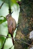 Plain -brown Woodcreeper
