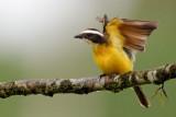 Rusty-margined flycatcher
