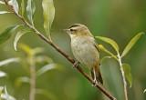 Sledge Warbler
