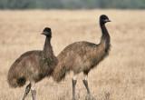 Emu (juv)