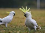 Sulhpur Crested Cockatoo