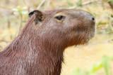 Capibara Brazil