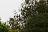 Fruit-Bats Australia