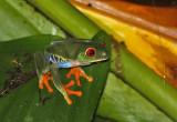 Frog Nicaragua