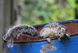 Squirrel Nicaragua