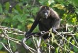 Spider Monkey  Nicaragua
