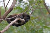 Howler-Monkey Nicaragua