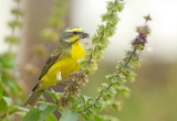 Yellow- fronted Canary