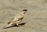 Dessert Sparrow