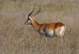 gazel-2.jpg