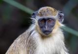 Monkey-Abuko-Gambia