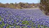 Roadside Bluebonnets