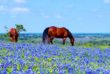 Horses in the Bluebonnets