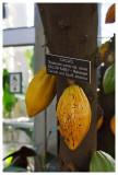 A cacao tree