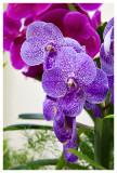 Ascocenda Jumbo Blue orchid