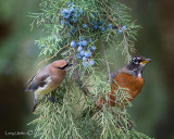 Cedar Waxwing & Robin