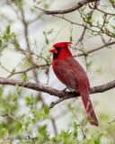 Northern Cardinal (Southwest Adult)