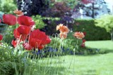 Two kinds of poppies Reala