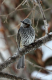 BIRD - BULBUL - BROWN-EARED BULBUL - KINOHIROBA PARK, ABASHIRI HOKKAIDO JAPAN (1).JPG