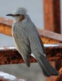 BIRD - BULBUL - BROWN-EARED BULBUL - KUSSHARO LAKE - HOKKAIDO JAPAN (2).JPG