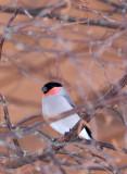 BIRD - BULLFINCH - KUSSHARO LAKE - HOKKAIDO JAPAN (1).JPG