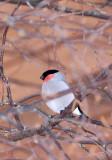 BIRD - BULLFINCH - KUSSHARO LAKE - HOKKAIDO JAPAN (2).JPG