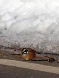 BIRD - BUNTING - SIBERIAN MEADOW BUNTING - OTOWABASHI - TSURUI TOWN - HOKKAIDO JAPAN (8).JPG