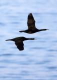 BIRD - CORMORANT - PELAGIC CORMORANT - HANASAKI CAPE - NEMURO PENINSULA - HOKKAIDO JAPAN (13).JPG