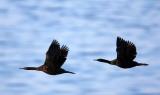BIRD - CORMORANT - PELAGIC CORMORANT - HANASAKI CAPE - NEMURO PENINSULA - HOKKAIDO JAPAN (16).JPG